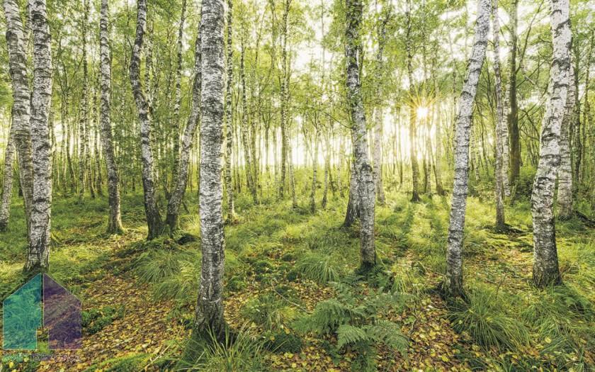 Fototapeta - Birch Trees
