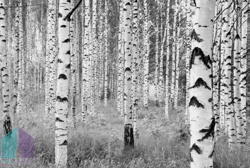 Fototapeta - Woods