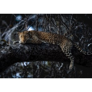 Foto tapeta - Panthera