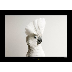 Foto slika brez okvirja - White Cockatoo