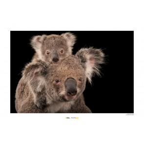 Foto slika brez okvirja - Koala Bear