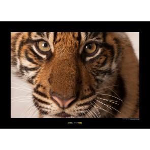 Foto slika brez okvirja - Sumatran Tiger Portrait