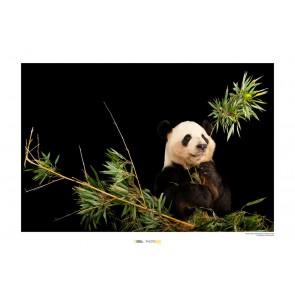 Foto slika brez okvirja - Giant Panda