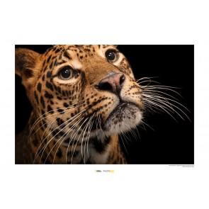 Foto slika brez okvirja - Javan Leopard
