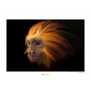 Foto slika brez okvirja - Golden-headed Lion Tamarin