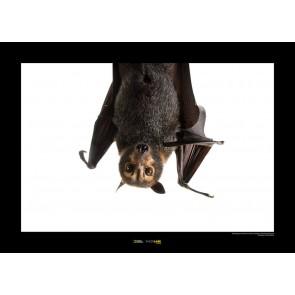 Foto slika brez okvirja - Spectacled Flying Fox