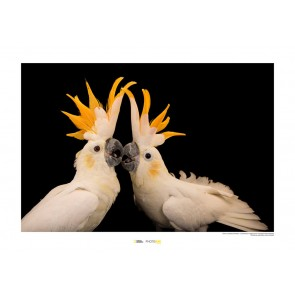 Foto slika brez okvirja - Citron-crested Cockatoo