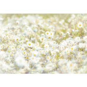 Fototapeta - Daisies