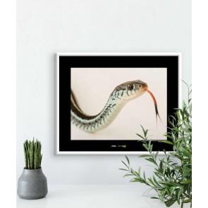 Foto slika brez okvirja - Bluestripe Garter Snake
