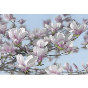 Fototapeta - Magnolia
