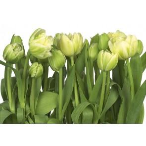Fototapeta - Tulips