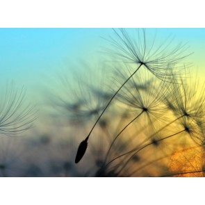 Foto tapeta - Flying Dandelion 1