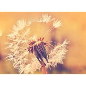 Foto tapeta - Dandelion 1