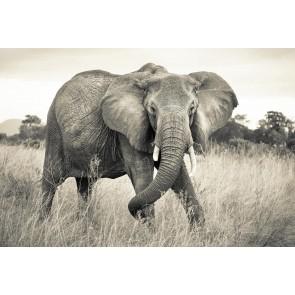 Fototapeta - Elephant X8-529